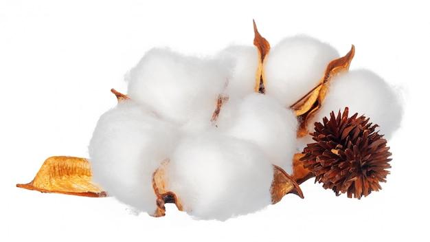 Fiori di cotone su bianco