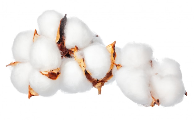 Fiori di cotone su sfondo bianco