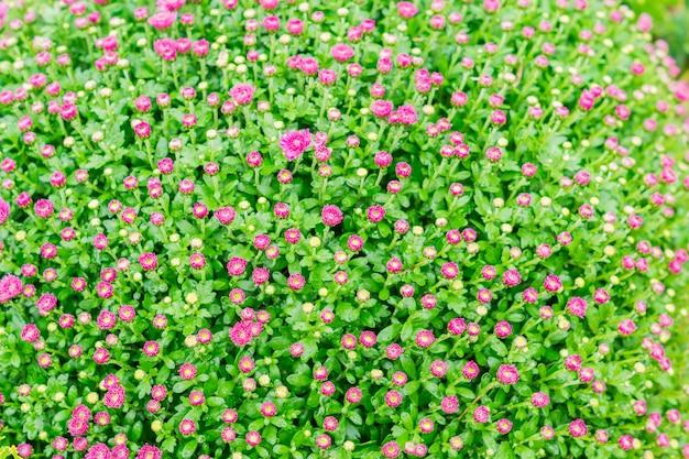 Fiori di crisantemo. campo di crisantemi rosa.
