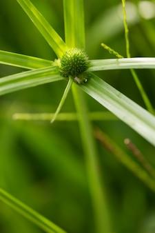 Fiori di erba verde di cyperus involucratus (pianta a ombrello), noto anche come carice di papiro,