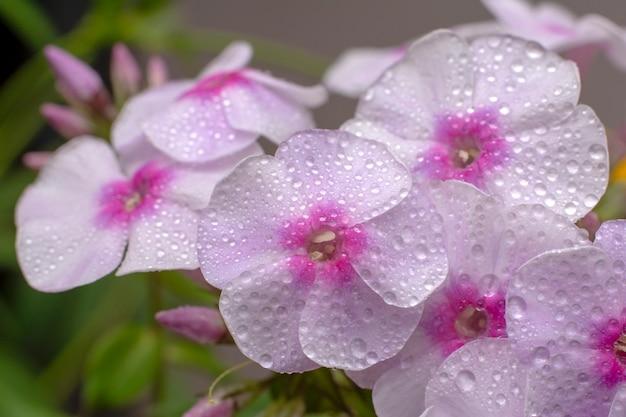 Fiori di flox su naturale. phlox rosa e foglie verdi con gocce d'acqua