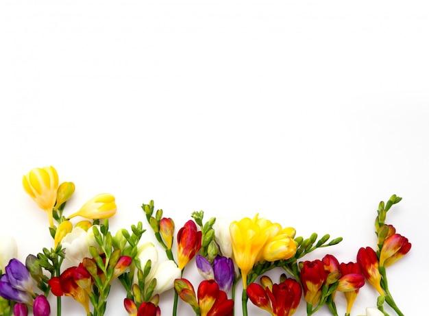 Fiori di fresia bella primavera su uno sfondo bianco.