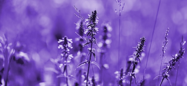 Fiori di lavanda dai toni ultravioletti. campo di lavanda viola con effetto luce soffusa per il tuo sfondo floreale