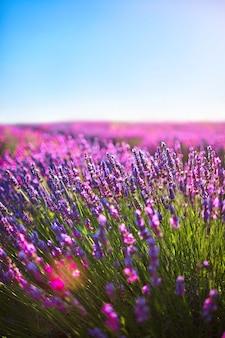 Fiori di lavanda in fiore campi profumati in file infinite. provenza, francia, europa
