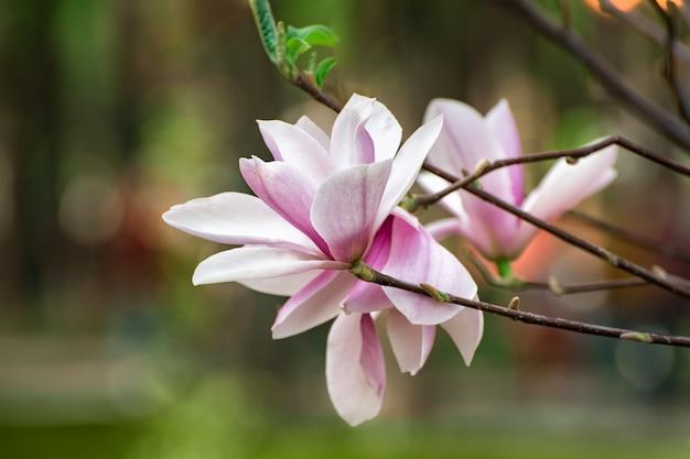 Fiori di magnolia. alberi in fiore. morbidi fiori rosa primaverili.