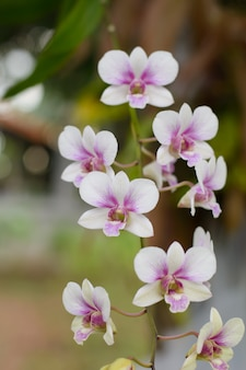 Fiori di orchidea ramo viola, rosa, orchidaceae, phalaenopsis