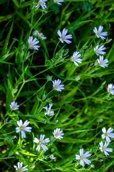 Fiori di ornithogalum. bellissimi fiori bianchi nella foresta