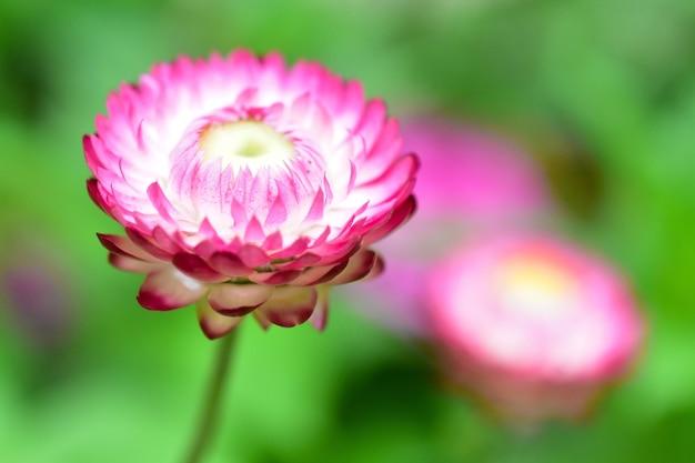Fiori di paglia rosa e bianchi in erba