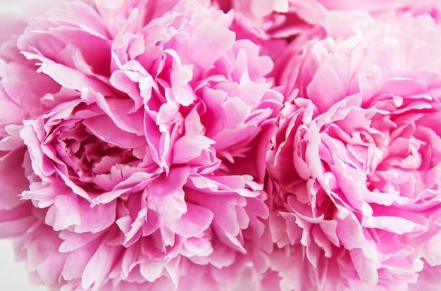 Fiori di peonia rosa bellezza