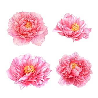 Fiori di peonia rosa dell'acquerello.