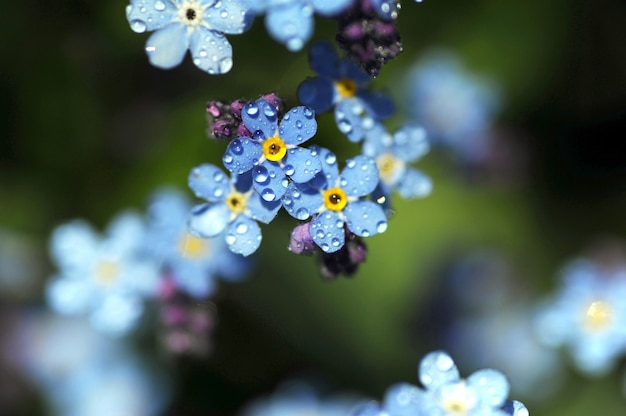 Fiori di primavera blu