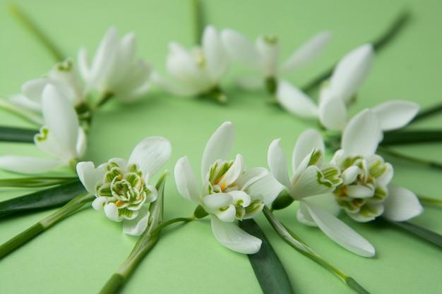 Fiori di primavera, bucaneve bianchi su sfondo verde.