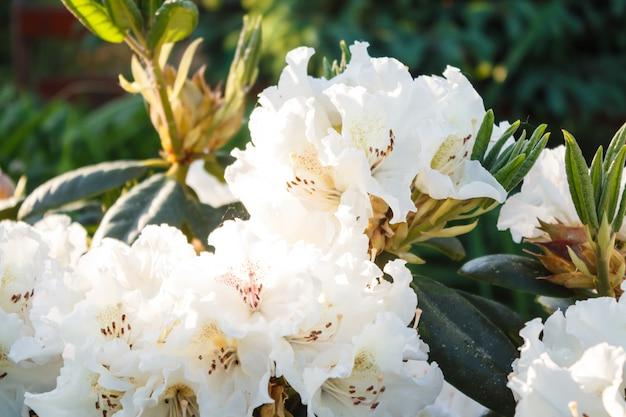 Fiori di rododendro (azalea) di vari colori nel giardino primaverile