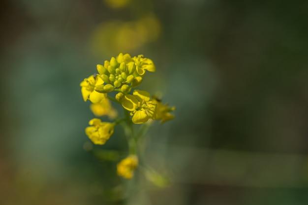 Fiori di senape che fioriscono sul campo