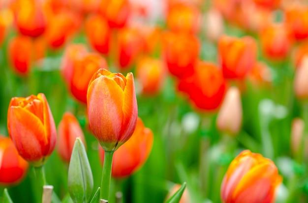 Fiori di tulipano con sfondo sfocato