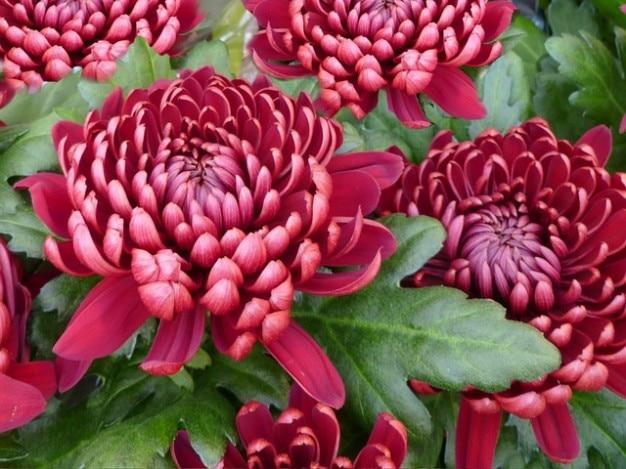 Fiori fower buio crisantemi crisantemo