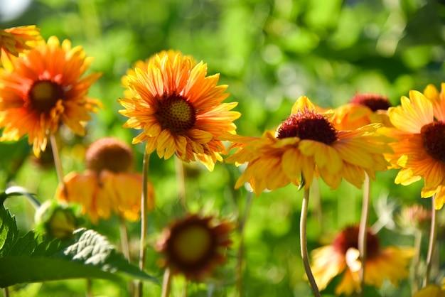 Fiori gialli del giardino in aiola