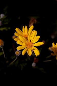 Fiori gialli della primavera con un fondo nero. fiori luminosi in dettaglio. fiori del primo piano.