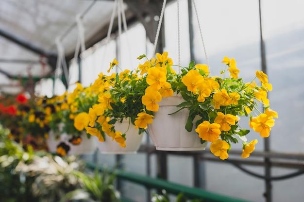 Fiori gialli delle petunie che appendono in un vaso nella serra.