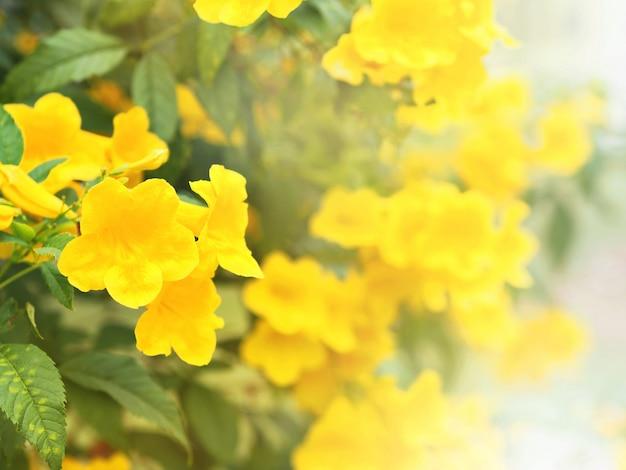 Fiori gialli di elder o trumpetbush