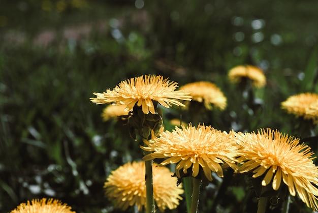 Fiori gialli di tarassaco - taraxacum officinale. i denti di leone sistemano il fondo il giorno soleggiato della molla.