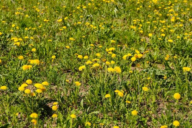 Fiori gialli di tarassaco