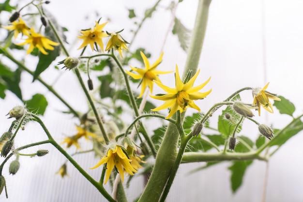 Fiori gialli di un pomodoro fiorito