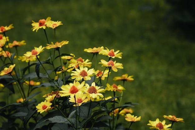 Fiori gialli e rugiada del mattino