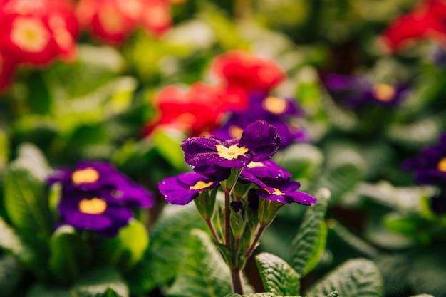 Fiori gialli e viola nella stagione primaverile
