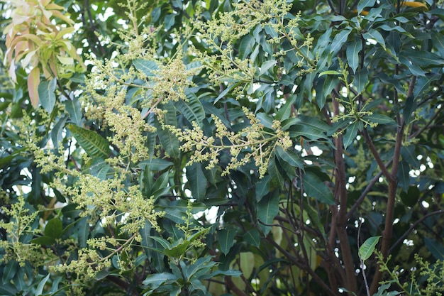 Fiori gialli verdi del mango sull'albero