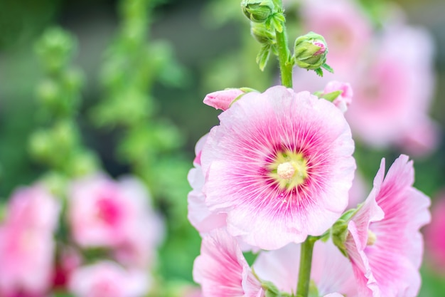 Fiori holly hock (hollyhock) bianchi nel giardino