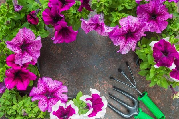 Fiori petunie e attrezzi da giardino, cornice su uno sfondo scuro