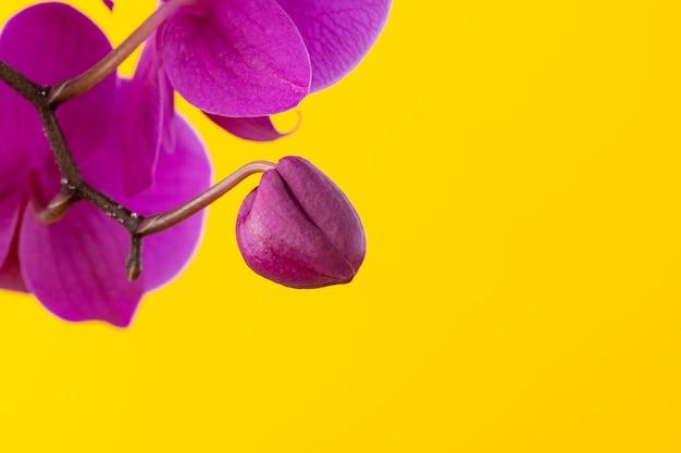 Fiori porpora dell'orchidea su copyspace giallo luminoso