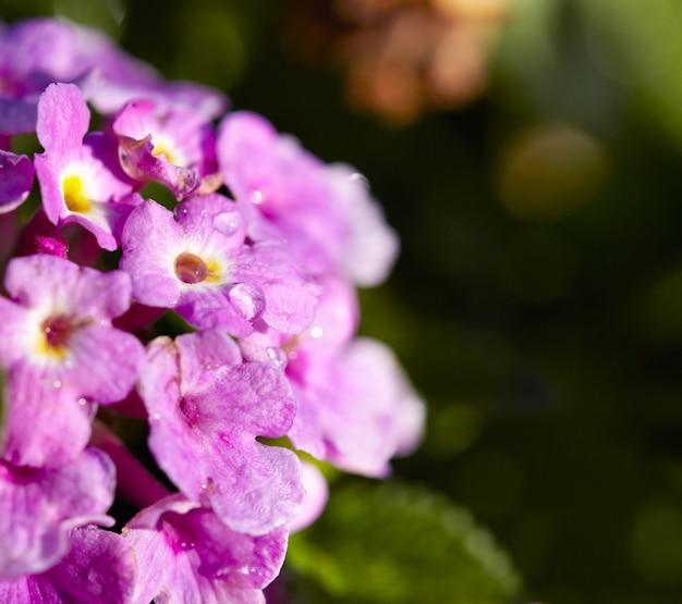 Fiori primaverili lilla