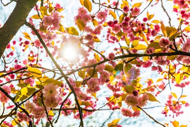 Fiori primaverili rosa con i raggi del sole che passa attraverso
