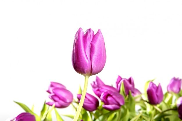 Fiori rosa dei tulipani isolati su fondo bianco
