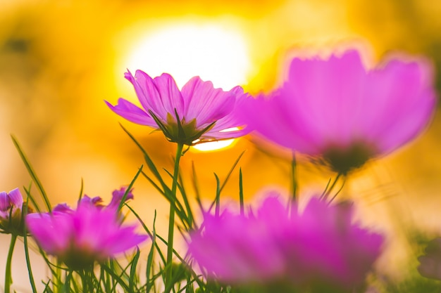 Fiori rosa dell'universo al tramonto, fuoco molle