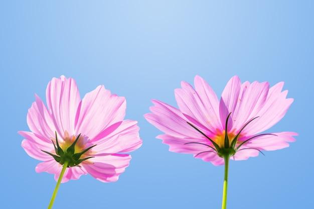 Fiori rosa dell'universo che fioriscono nel giardino
