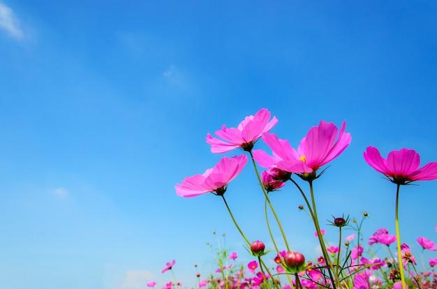 Fiori rosa dell'universo con il fondo della nuvola e del cielo blu