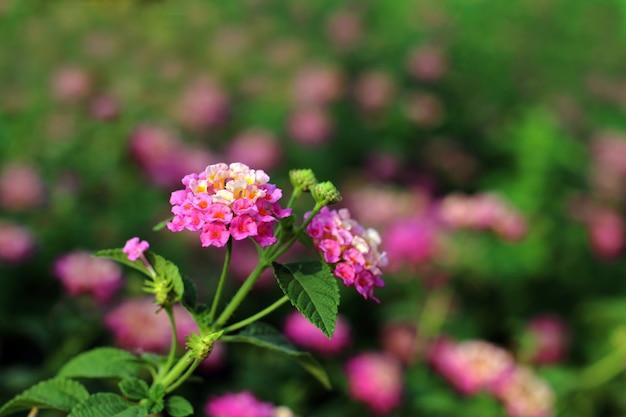 Fiori rosa della lantana, bello verde della molla del fiore di phakakrong (parola tailandese) bello fresco
