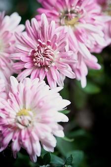 Fiori rosa di crisantemo