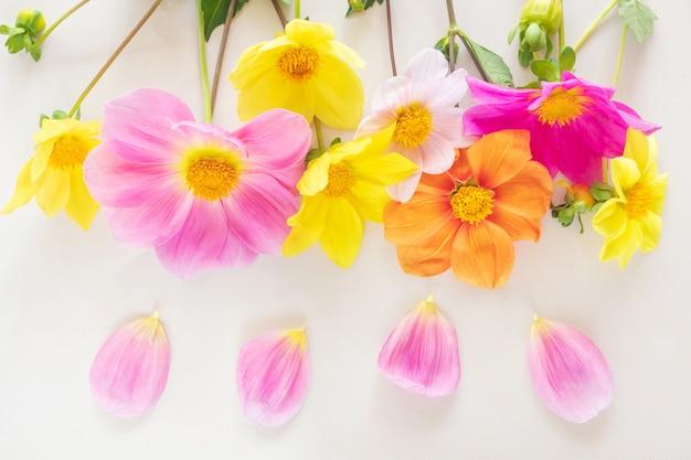 Fiori rosa e gialli della dalia su pastello