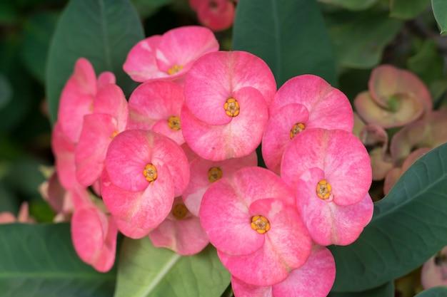 Fiori rosa, fiori rosa corona di spine su bianco