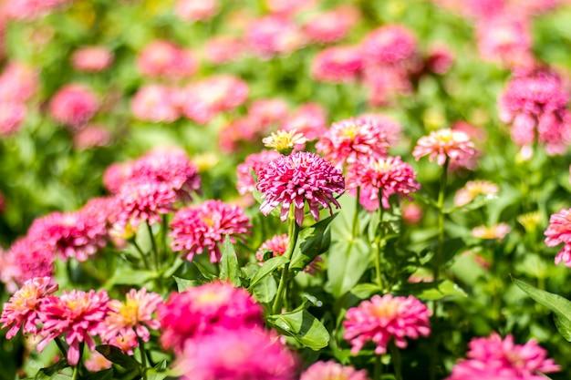Fiori rosa gerbera margherita