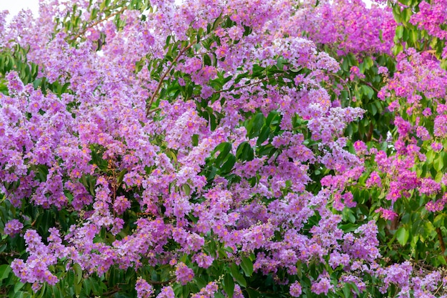 Fiori rosa inthanin su uno sfondo bianco