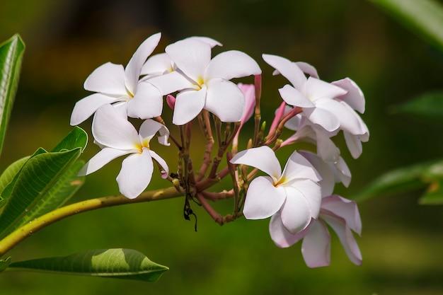 Fiori rosa plumeria che stanno fiorendo in natura