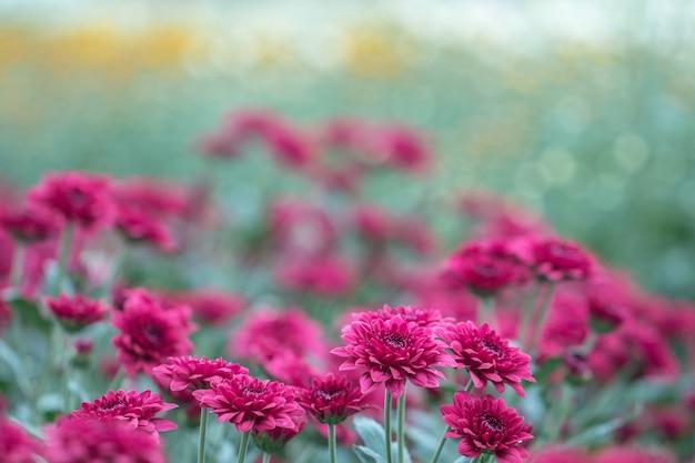 Fiori rossi del crisantemo in un giardino. a volte chiamati mamme o crisantemi (dendranthemum grandifflora). bellissimo fiore rosso