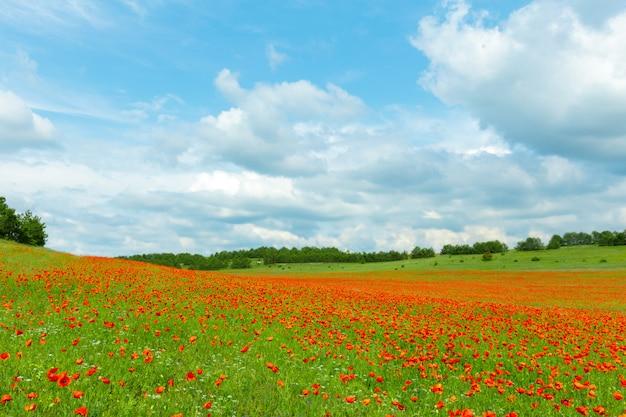 Fiori rossi del papavero in un campo