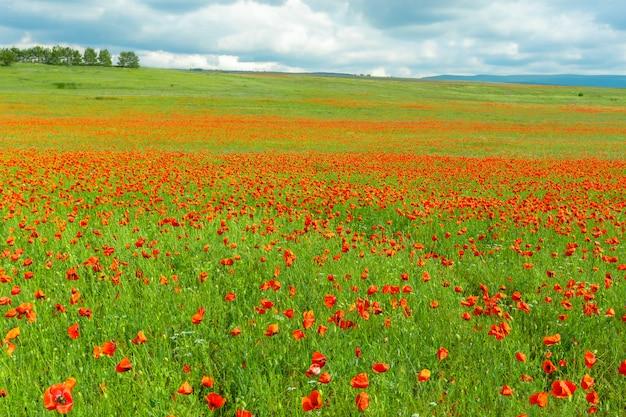 Fiori rossi del papavero in una priorità bassa del campo