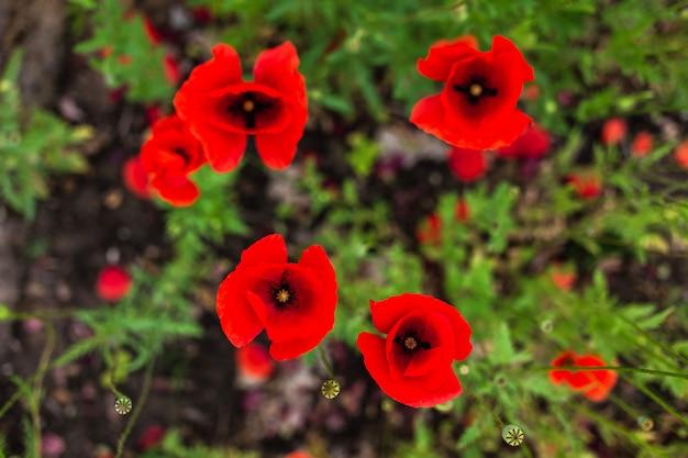 Fiori rossi del papavero nel campo